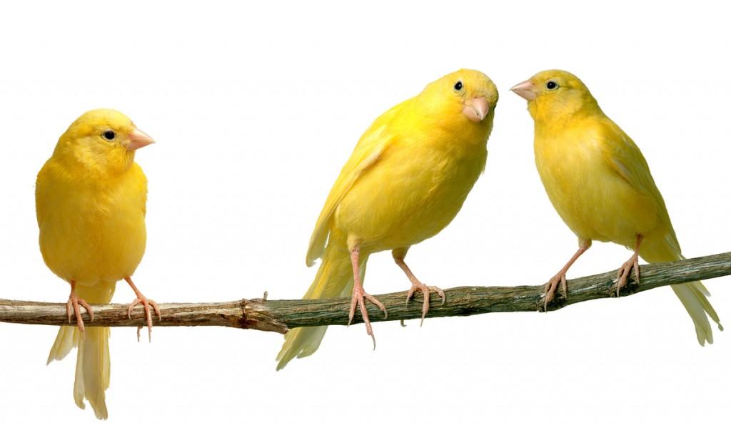 Canarios Cuanto Viven Los Canarios Domesticos Y Salvajes