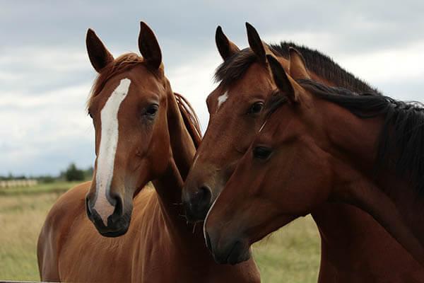 CABALLOS | Cuanto viven los caballos y yeguas. Cuanto pesan y miden