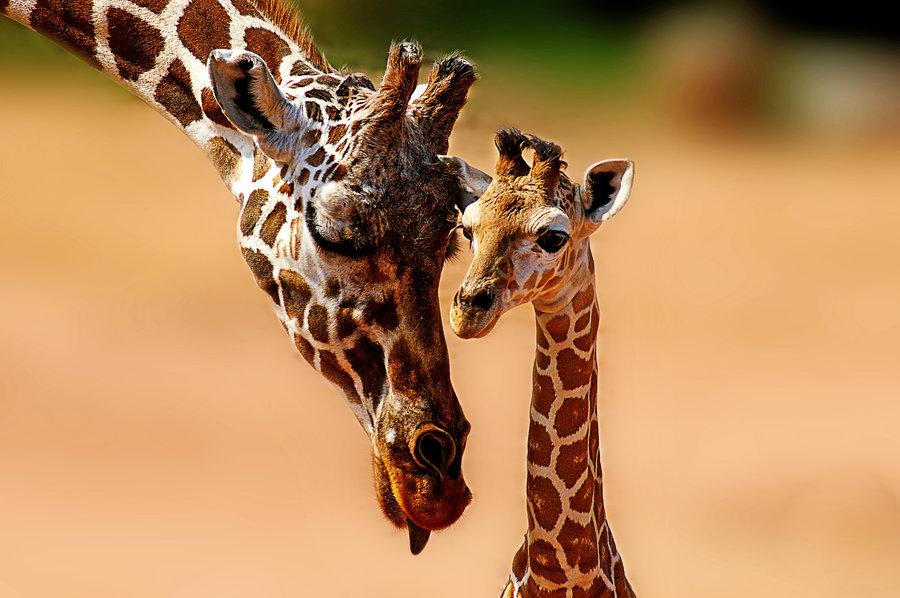Jirafas donde y cuanto viven las jirafas y cuanto miden for Taxonomia de la jirafa