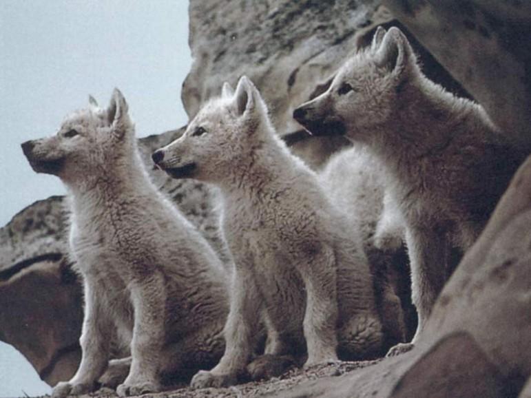 Lobos Cuanto Viven Los Lobos Cuanto Miden Y Que Comen