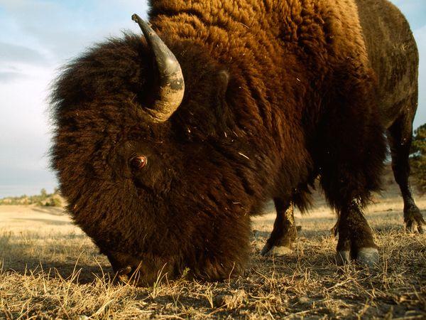 Q Es El Bisonte El bisonte americano