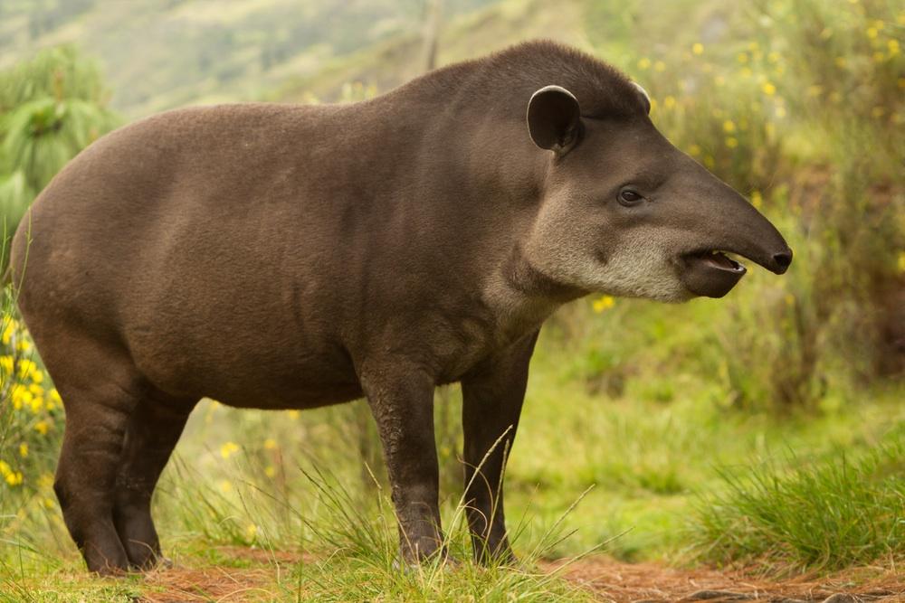 TAPIR | Cuanto vive el tapir, que come y de que animal es