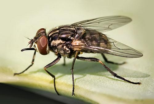 moscas cuanto viven las moscas domesticas y ciclo de vida. Black Bedroom Furniture Sets. Home Design Ideas