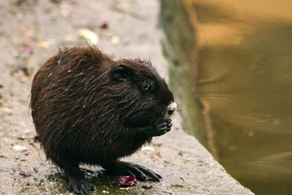 Cuánto viven los castores