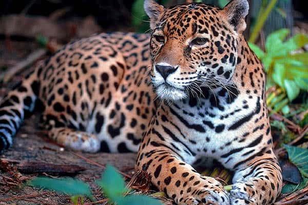 Cuánto viven los jaguares