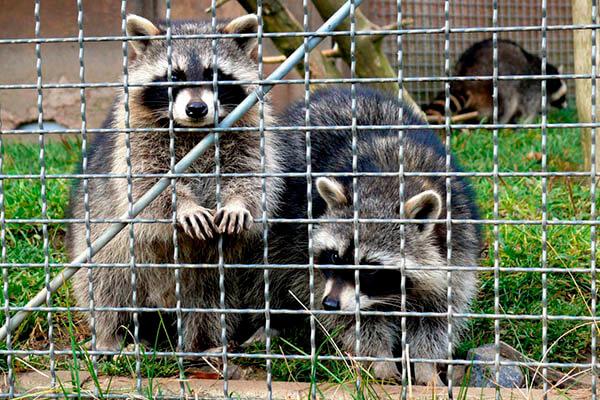 Esperanza de vida de los mapaches