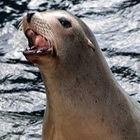 Ejemplos de animales carnívoros: focas