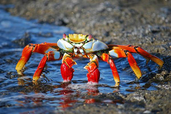 Cuántos años viven los cangrejos