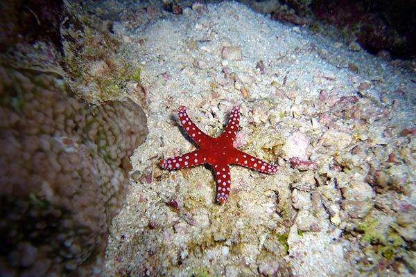 Cuánto vive una estrella de mar