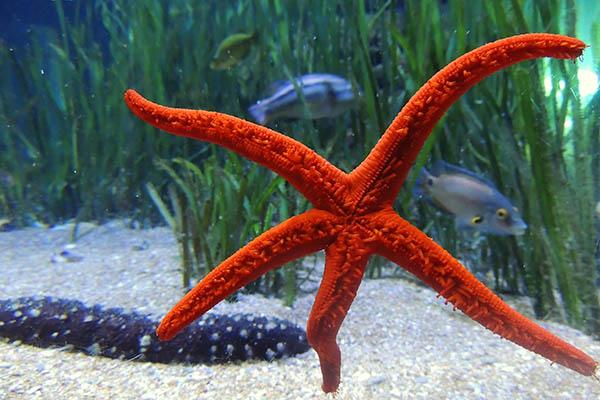 Cuánto viven las estrellas de mar